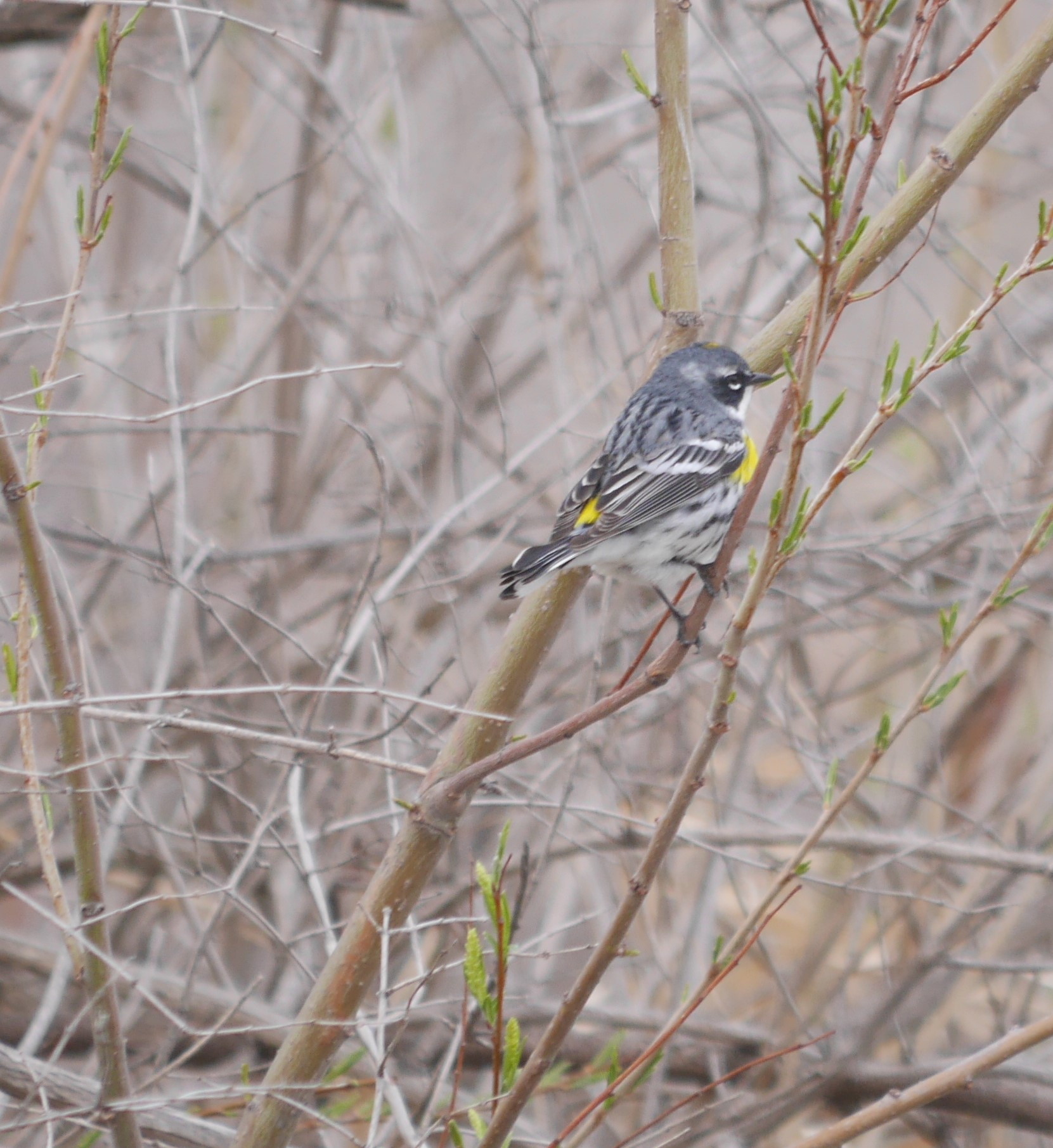 Yellow-rumped Warbler photo by Cindy Dobrez