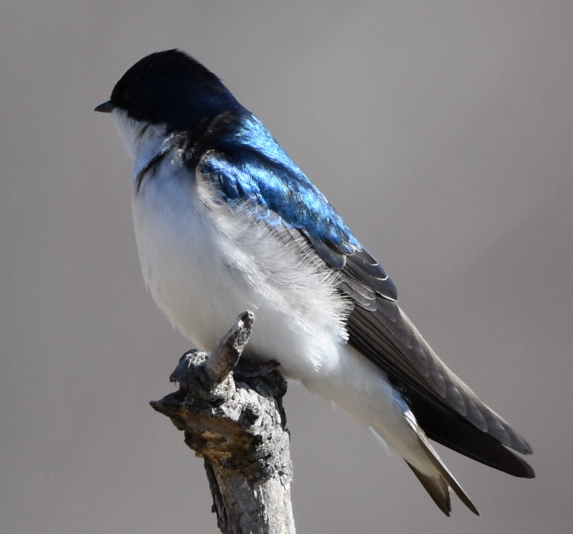 tree-swallow-photo-by-lynn-rutan